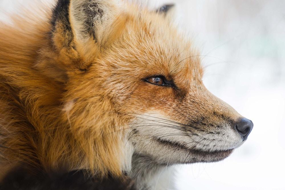 intent, fox